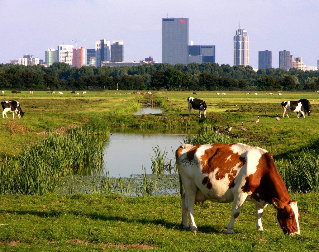 Koeien buiten de stadsrand. Foto: Rob Poelenjee